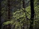 Beech leaves in spring