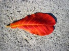 Almond Leaf