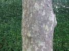 Tree/Hedge