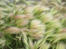 Prairie Fox Tail