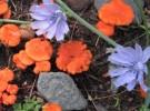 Blue cornflower and orange fungi