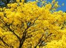 yellow-ipe petropolis brazil