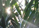 oleander light