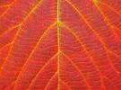 ERed Leaf