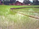 Vietnamese Field